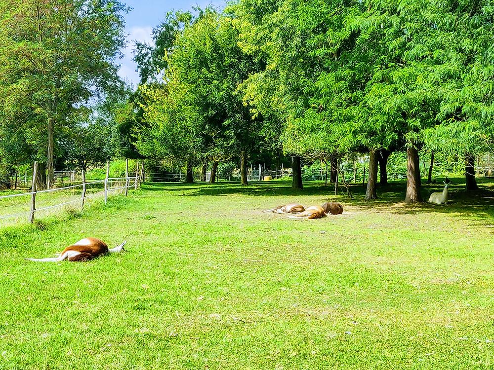 Petite sieste pour les lamas