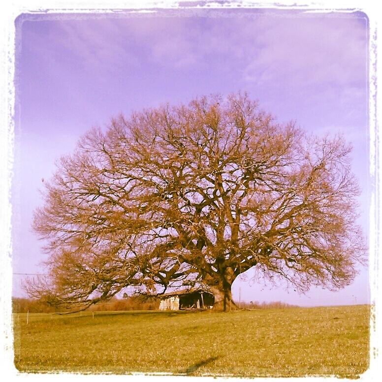 Le chêne de Tombeboeuf