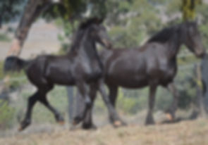 wenona of Bella Donna Friesians and dam