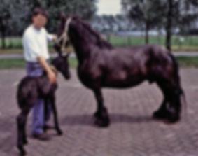 Dwarf Friesian with foal.jpg