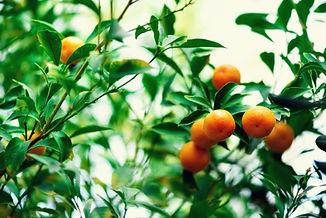 orange-tree-with-whole-fruits-fresh-oran