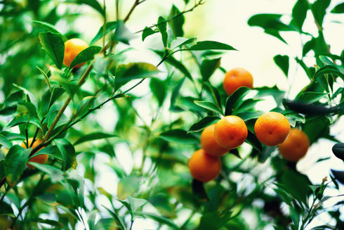 orange-tree-with-whole-fruits-fresh-oran
