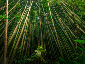 Bamboo: Alleviating Poverty in Rural Communities