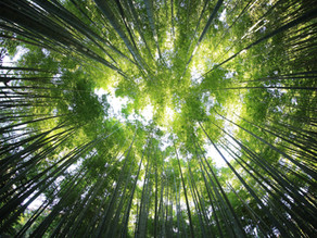 Why Bamboo is a renewable resource