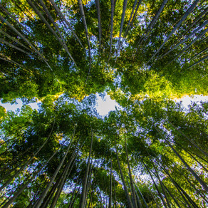 Bamboo's role in conserving biodiversity