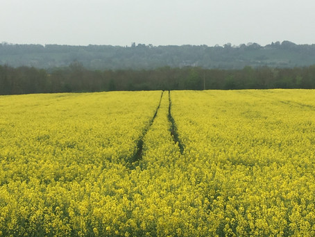 Rape seed yellow, not my favourite!