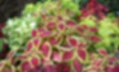 Solenostemon scutellarioides Coleus.jpg