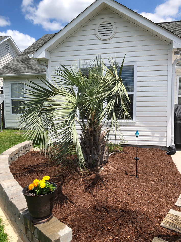 These palms will be much happier now that they have some mulch to keep their roots moist.