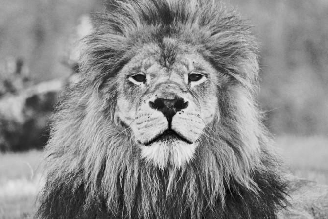 El ataque de león