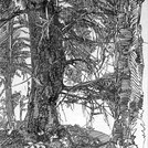 Lärche in Ftan, 1905