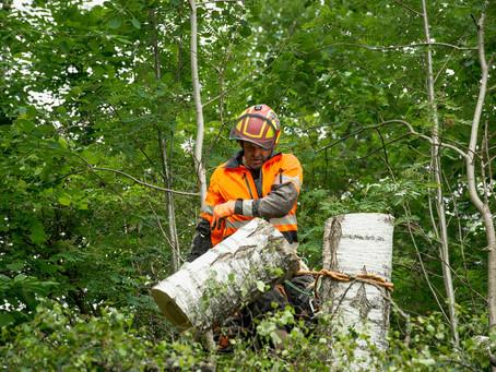 När träden står nära och riskerar falla på byggnader tar vi ner träden bit för bit.