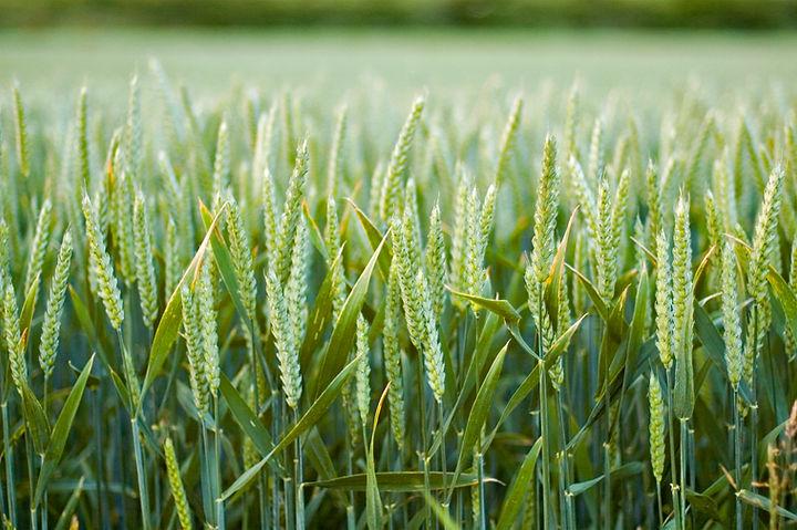 Growing Wheat.jpg