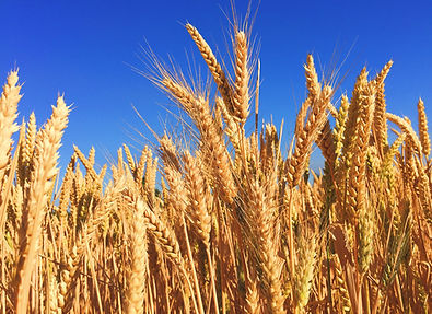 Wheat-stock-photo.jpg