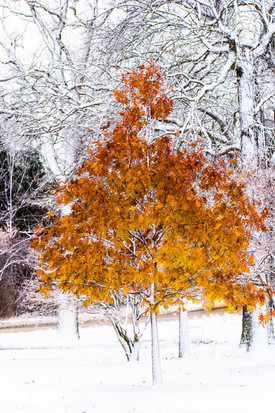 Golden tree-1.jpg