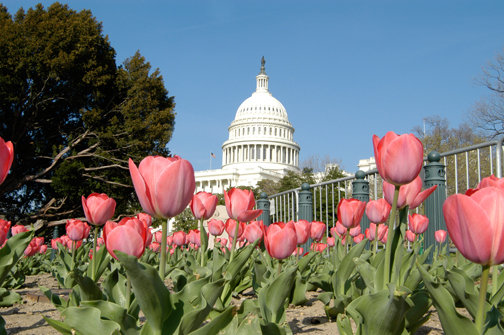 Tulips at the Capitol - C122