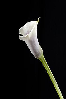 White Calla Lilly - C109