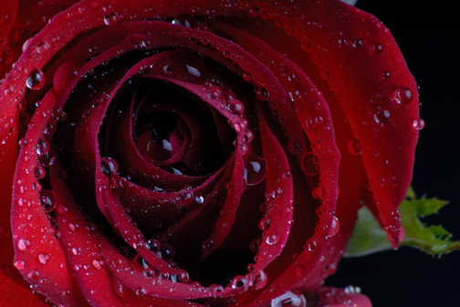 Dew on the Rose - C108
