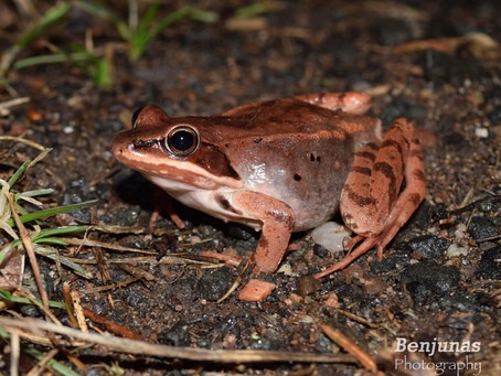 Wood frogs & Salamanders are back!!