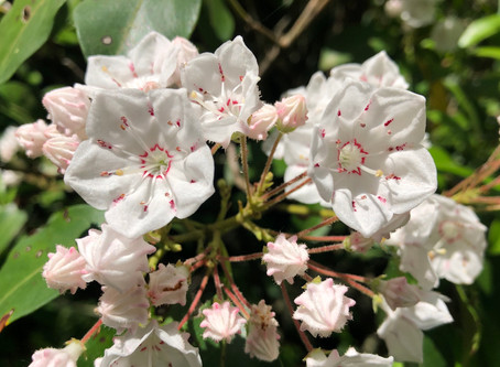 Mountain Laurel and Small Flowers