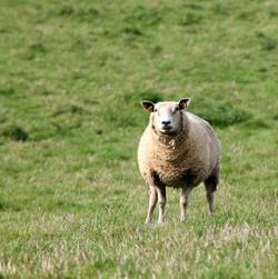 Irish Sheep Kildare
