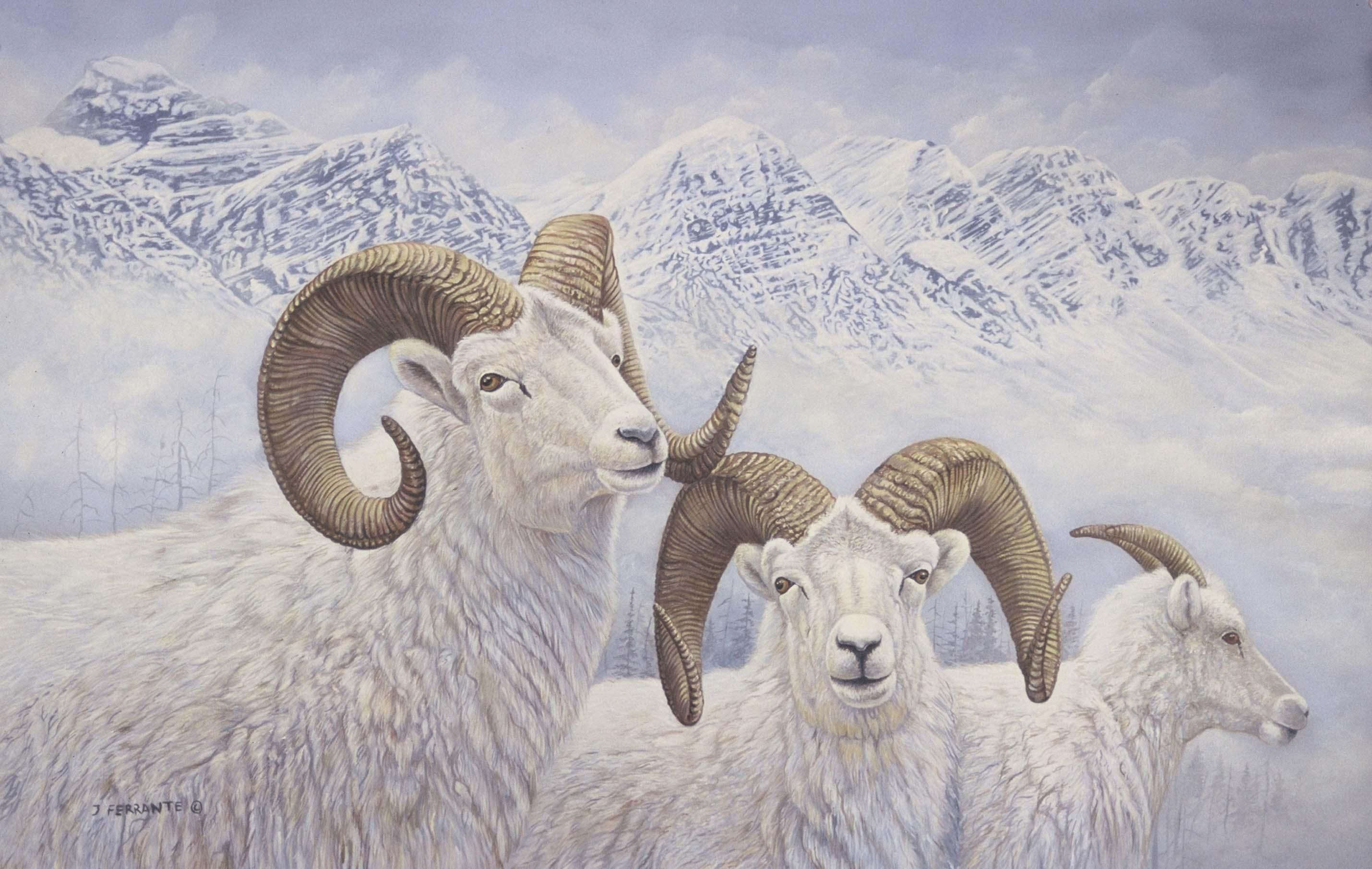 3 Dall sheep