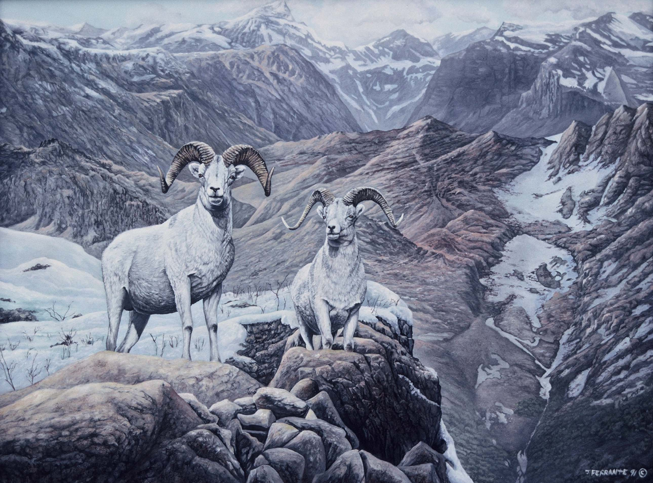 2 dall sheep
