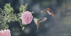 Rufus Hummingbirds