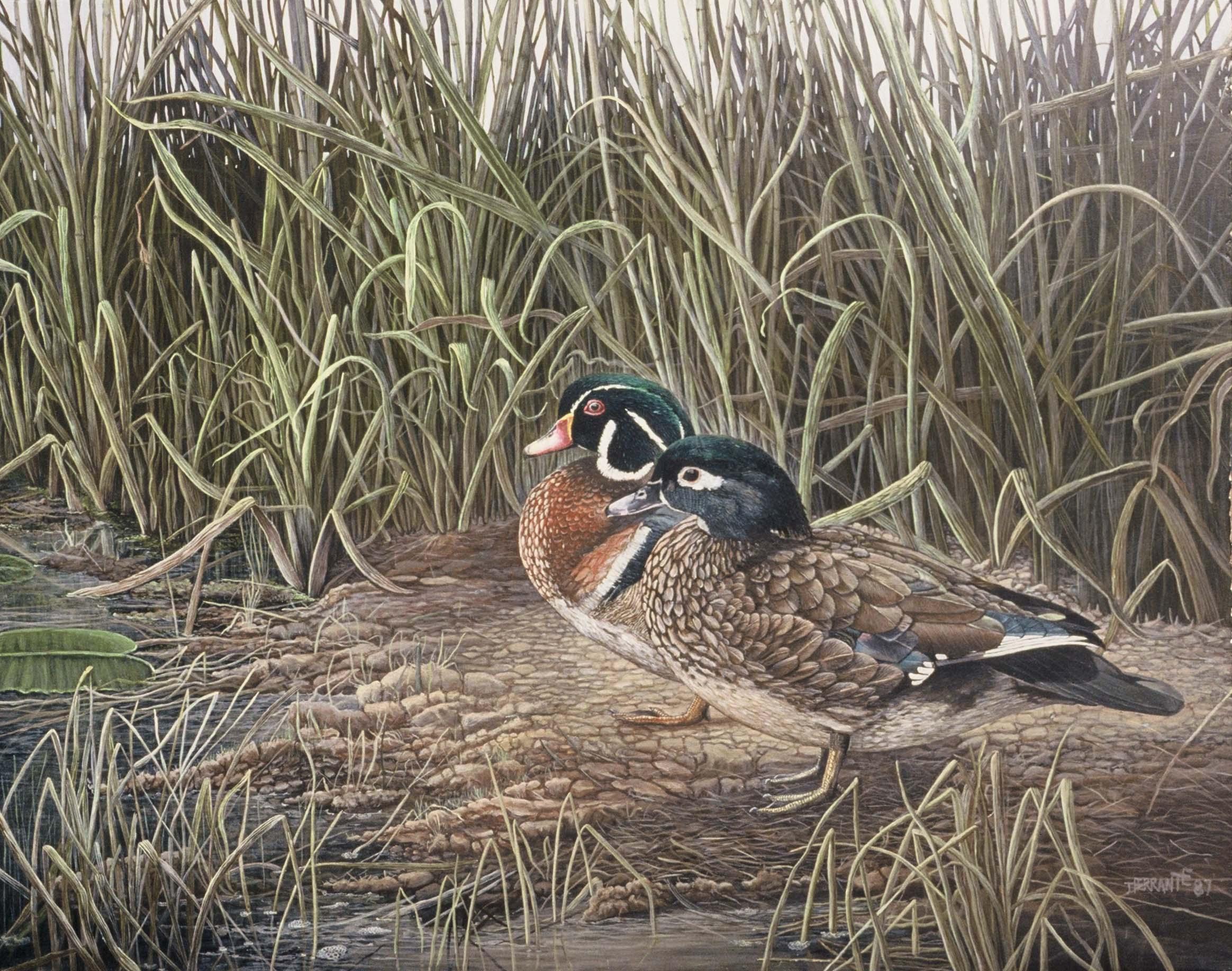 Wood ducks & reeds