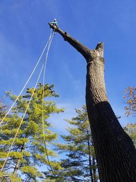 Majestic Tree Trimming