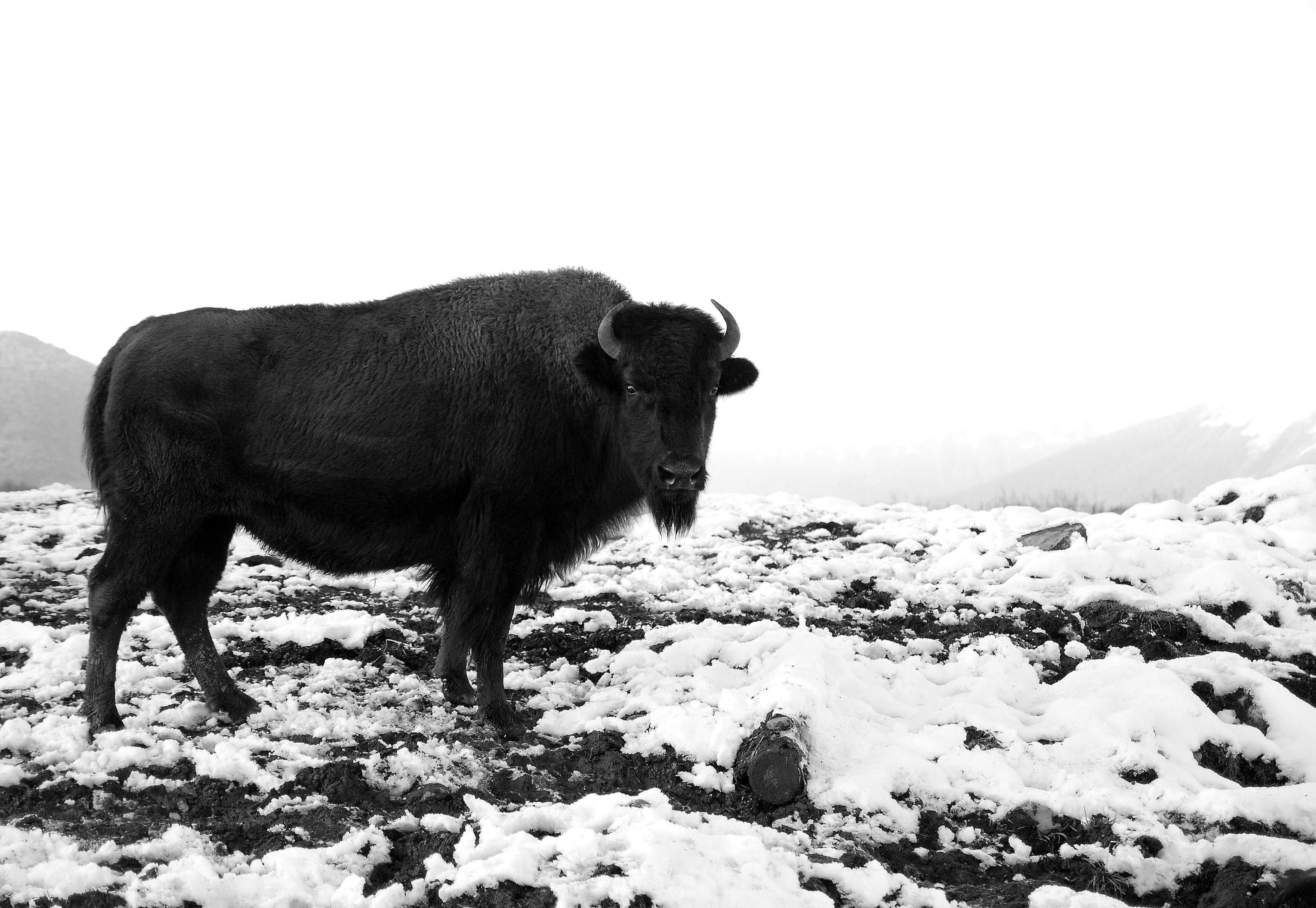 Alaskan Bison