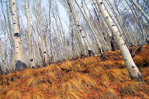 Tomboy Trees