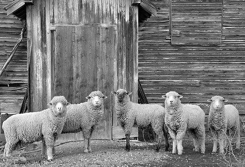 Sheep Window
