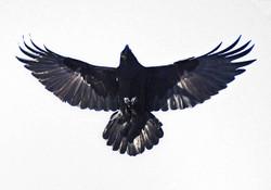 Alaskan Raven