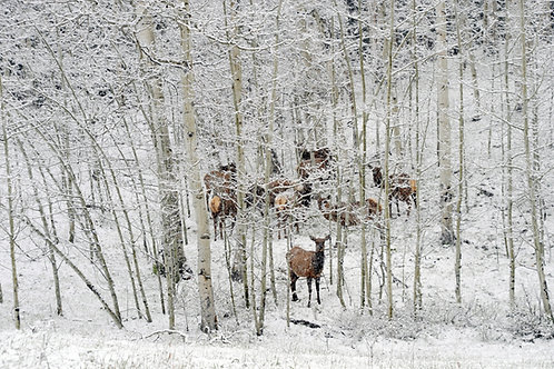 Who let the Elk out?