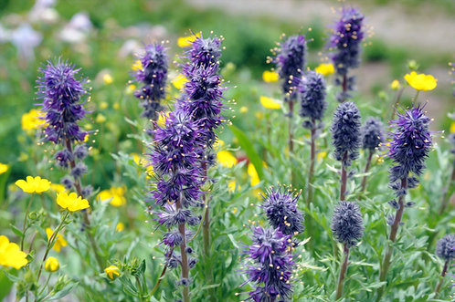 Purple Fringe