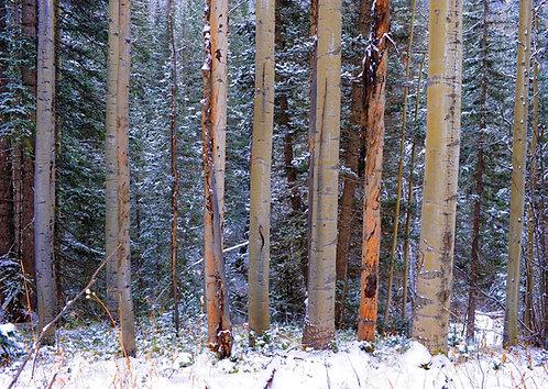Bear Creek Trees 2