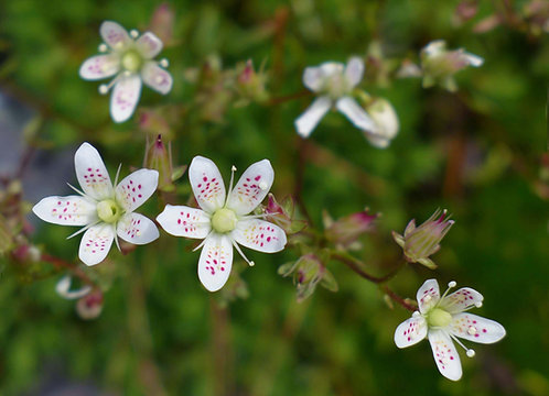 Spotted Saxifrage