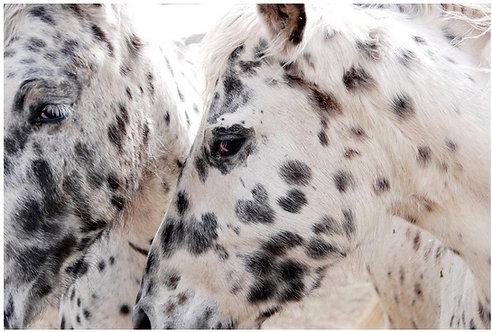 Dalmatian Horses