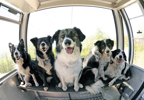 Collies on Board