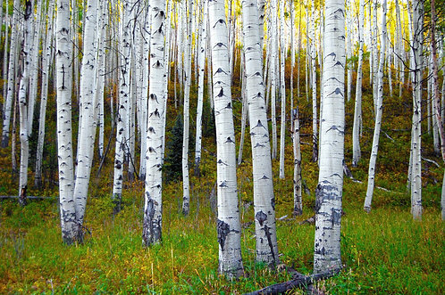 Deep Creek Aspens