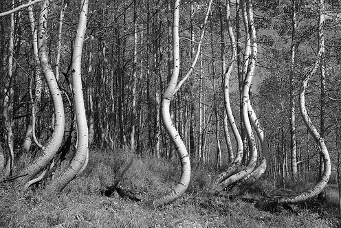 Curvy Ophir Trees