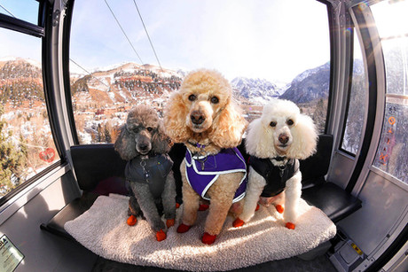 Powder Poodles