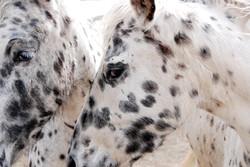 Dalmation Horses