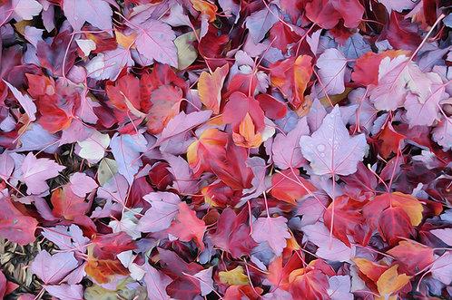 Mapleton Leaves 2