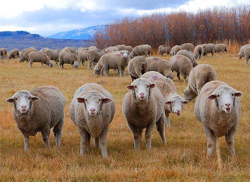 Sheep Galore