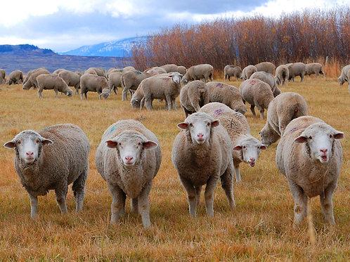 Ridgway Sheep 1