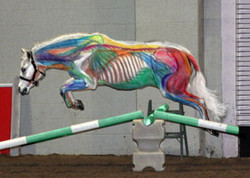 Visible Horse Jumping: Muscles