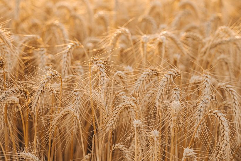 Wheat 1 13.jpg
