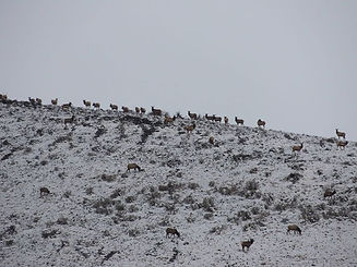 Elk lining the ridge January 2014