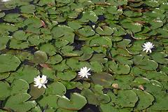 Patterson Park Pond